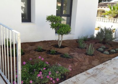 Olive tree and flowerbeds