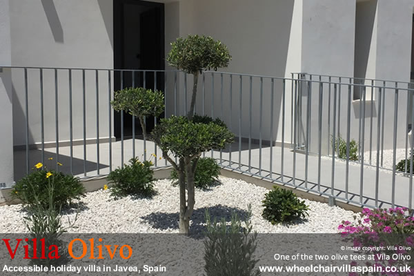 One of the two olive trees at Villa Olivo