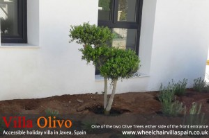 one-of-the-two-olive-trees-by-the-front-entrance-at-disabled-holiday-villa